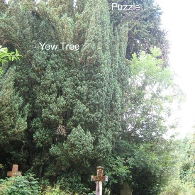 yew & monkey puzzle
